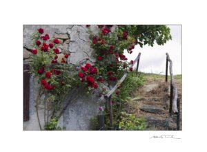 Le rose, il muro e la scala