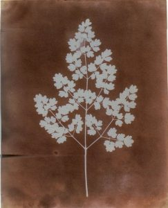 Fox Talbot Maidenhair Fern