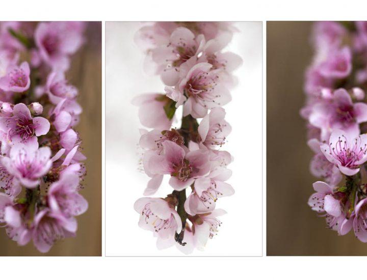 Meditazioni fotografiche / Camminando da solo  alla ricerca di fiori di pesco